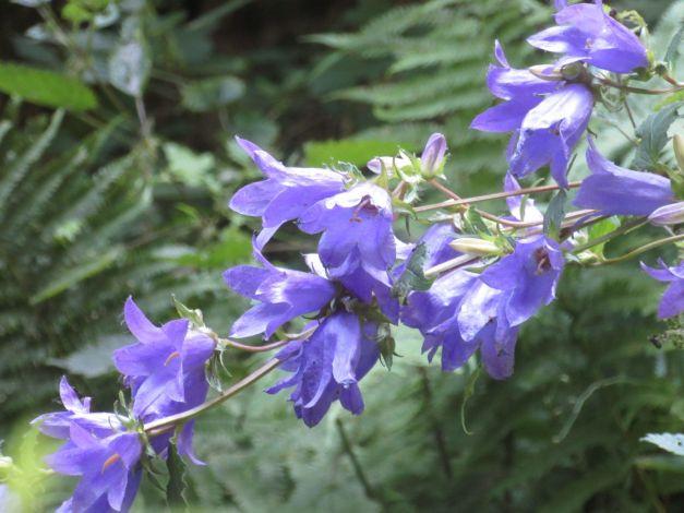 campanula-selvatica-campanule-trachelium