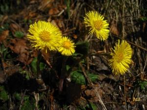 doronicum-clusii