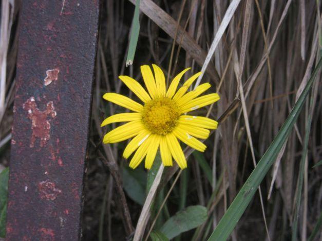 doronicum-clusii1