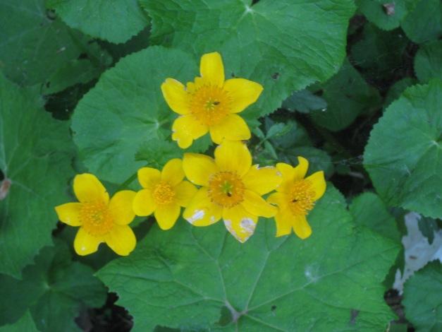 eliantemo-chironio-helianthemum-nummularium