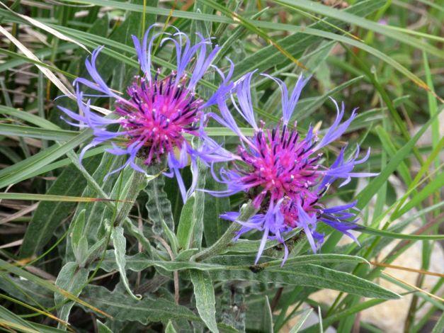 fiordaliso-di-montagna-centaurea-montana-1
