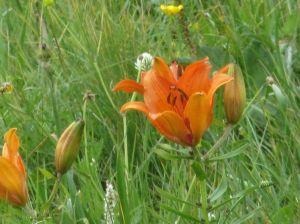 giglio-rosso-lilium-bulbiferum