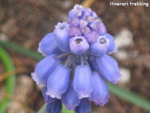 muscari-azzurro-muscari-botryoides
