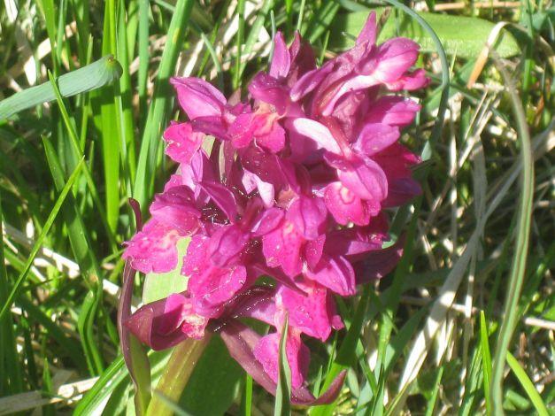 orchidea-cimicina-anacamptis-coriophora-orchis-coriophora