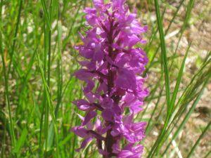 orchidea-maschia-orchis-mascula