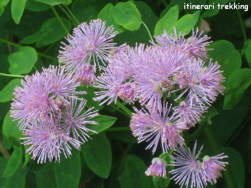 pigamo-colombino-thalictrum-aqulegiifolium