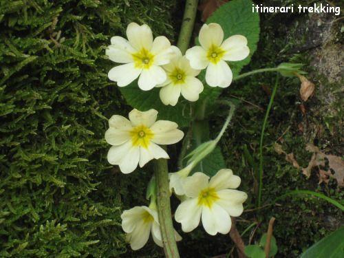 primula-comune-primula-vulgaris-1