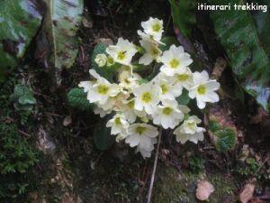 primula-comune-primula-vulgaris-2