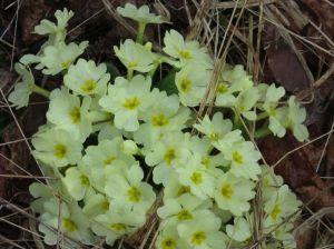 primula-comune-primula-vulgaris-3