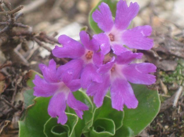 primula-recubariensis1