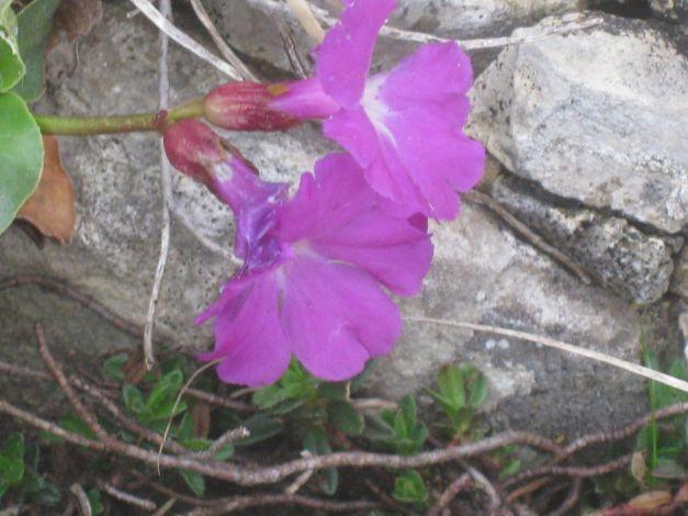primula-recubariensis2