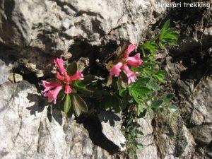 rododendro-peloso-rhododendro-hirsutum
