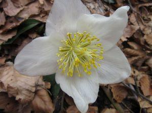 rosa-di-natale-helleborus-niger-1