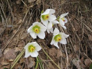 rosa-di-natale-helleborus-niger-4