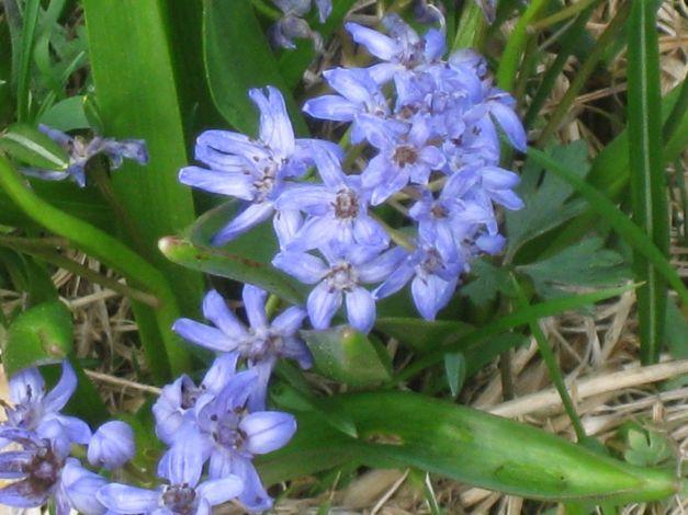 scilla-silvestre-scilla-bifolia