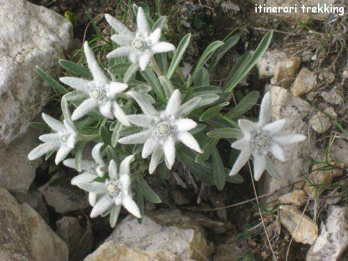 stella-alpina1