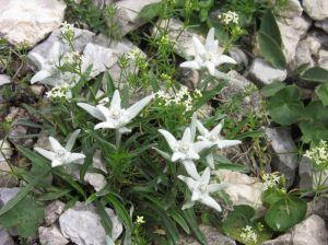 stella-alpina4