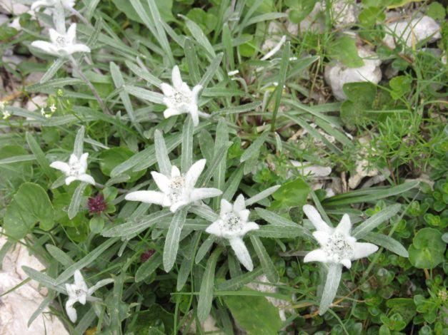 stella-alpina5