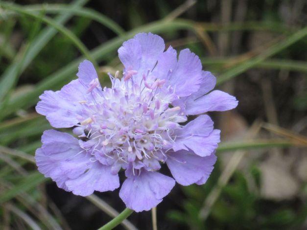 vedovina-a-foglie-sottili-scabiosa-triandra