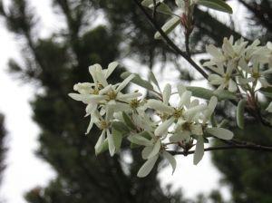 amelanchier-lamarckii1