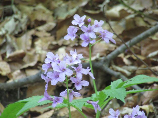 dentaria-a-cinque-foglie-cardamine-pentaphyllos