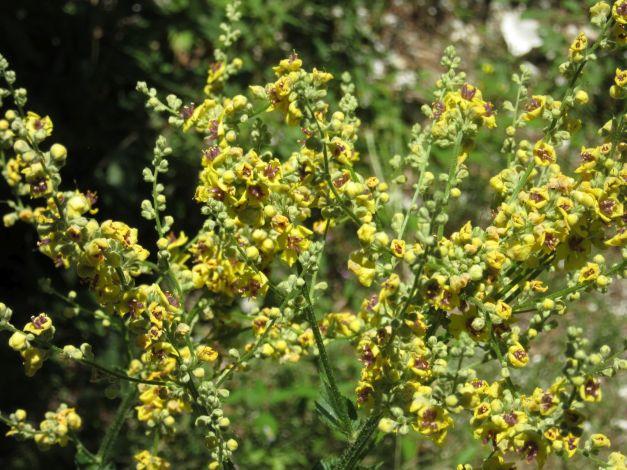 saxifraga-aizoides