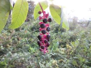 uva-turca1