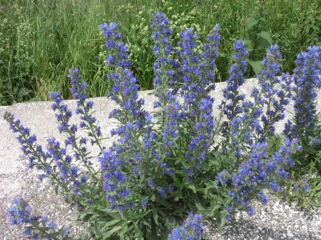 viperina-azzurra-echium-vulgare