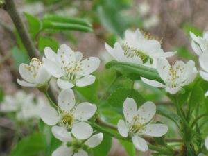 fiori-di-melo2
