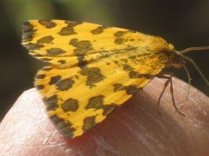 pseudopanthera-macularia-2