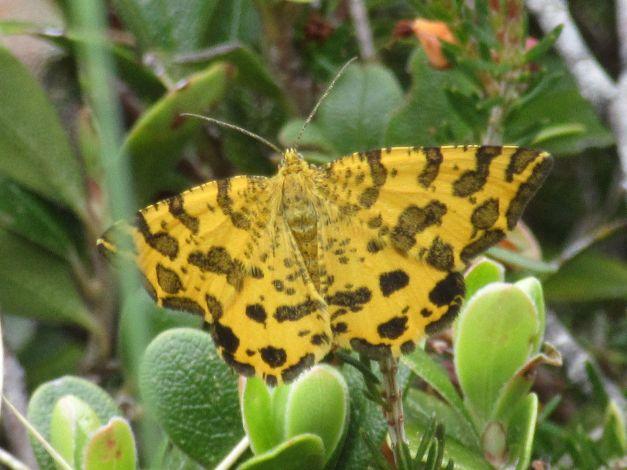 pseudopanthera-macularia