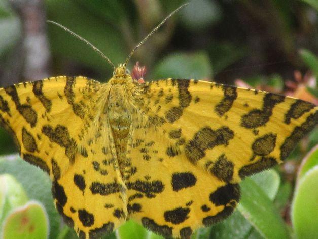 pseudopanthera-macularia1